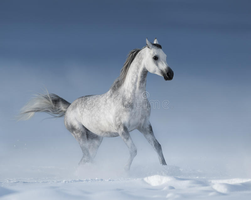 Purebred grey arabian stallion galloping over meadow in snow stock photography
