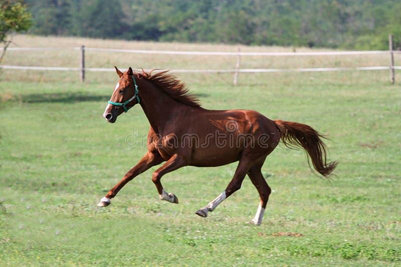 Purebred horse runs in summer pasture royalty free stock photos
