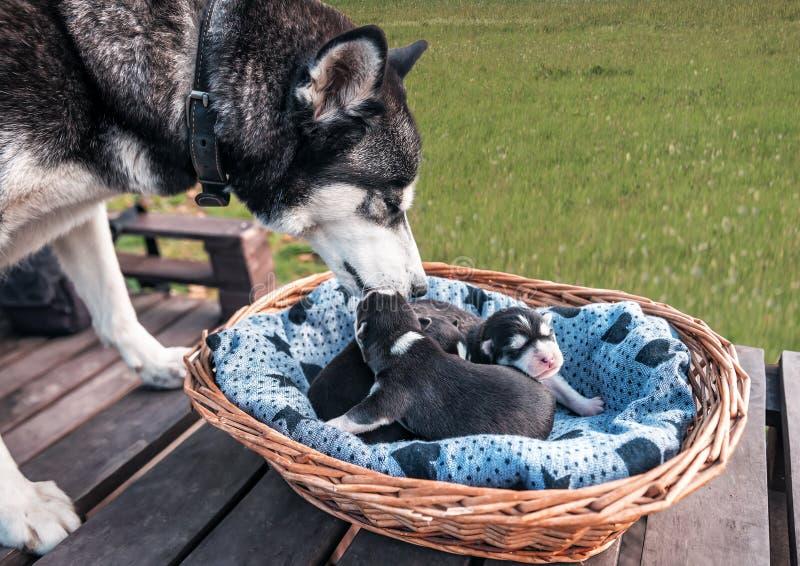 Purebred husky con cuccioli fotografia stock libera da diritti
