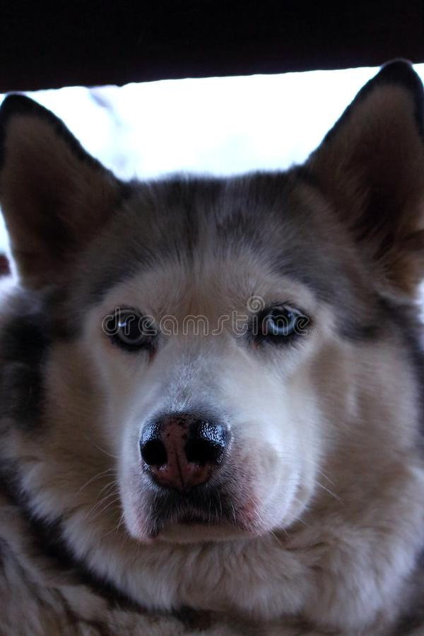 Purebred husky dog with blue eyes and wet nose looking at camera close up. Dog`s portrait. stock photo
