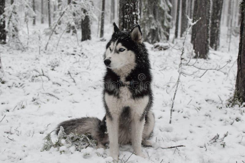 Purebred husky dog s'assoit dans une forêt hivernale enneigée, regarde ailleurs Portrait d'un husky aux yeux bleus avec un regard image stock