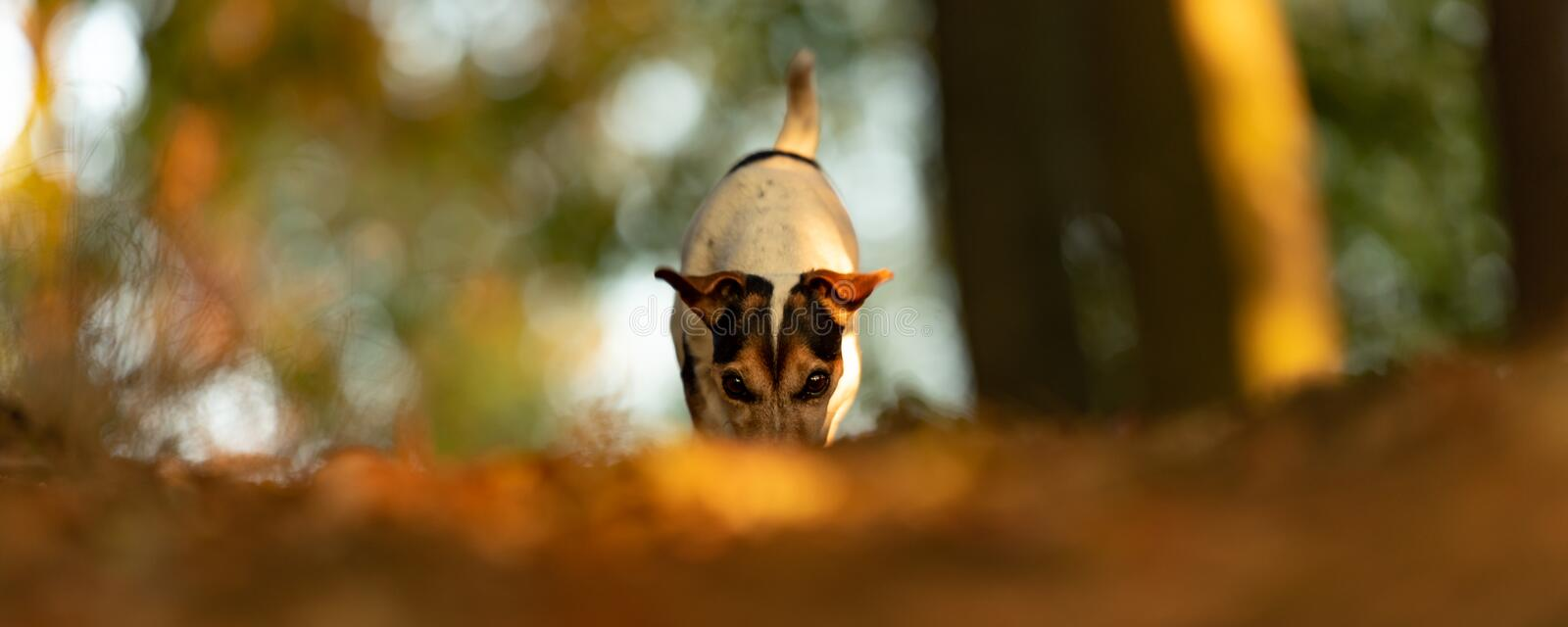 Purebred Jack Russell Terrie is following a track royalty free stock photos