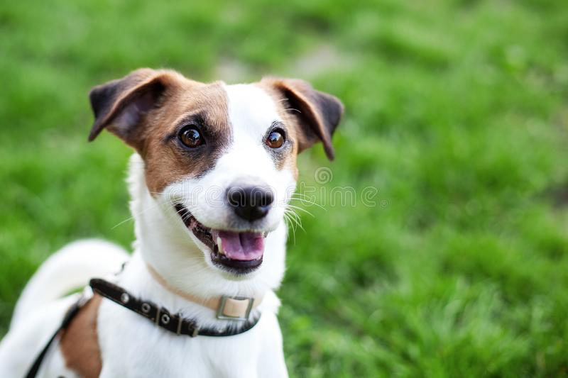 Purebred Jack Russell Terrier dog outdoors on nature in the grass. Close-up portrait of a happy dog ​​sitting in a park. stock photos