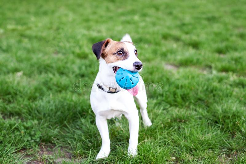Purebred Jack Russell Terrier dog outdoors on nature in the grass. The dog holds the ball in his mouth. dog ​​Jack Russell royalty free stock photography
