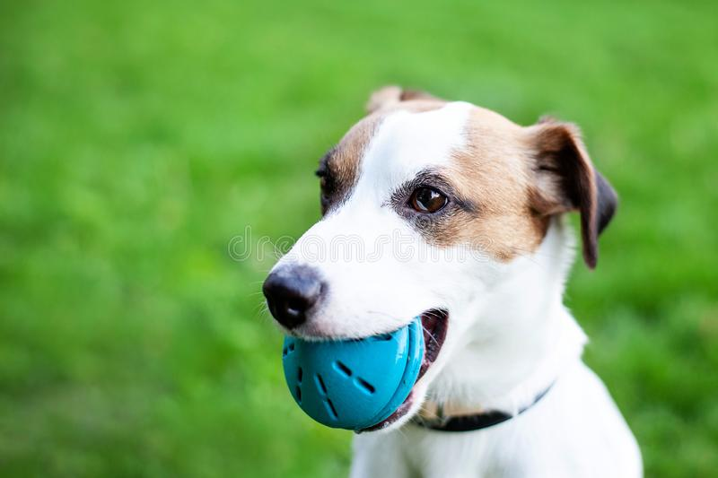 Purebred Jack Russell Terrier dog outdoors on nature in the grass. The dog holds the ball in his mouth. royalty free stock photography