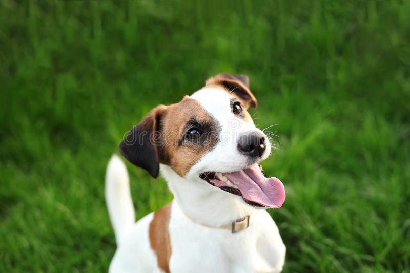 Purebred Jack Russell Terrier dog outdoors on nature in the grass on a summer day. Happy dog ​​sits in the park. royalty free stock images