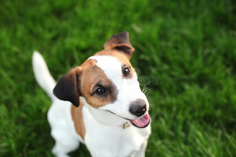 Purebred Jack Russell Terrier dog outdoors on nature in the grass on a summer day. Happy dog ​​sits in the park. royalty free stock photography