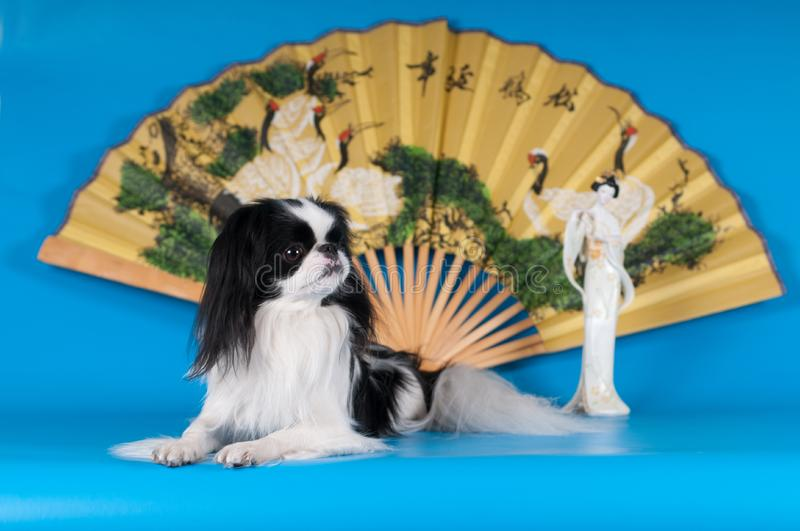 Purebred japanese hin studio portrait. On blue background with statuette and fan stock images