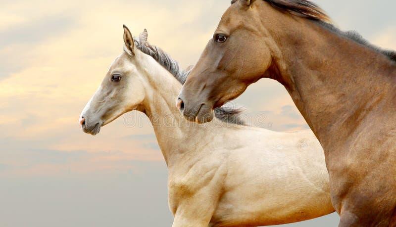 Purebred konie zdjęcie royalty free