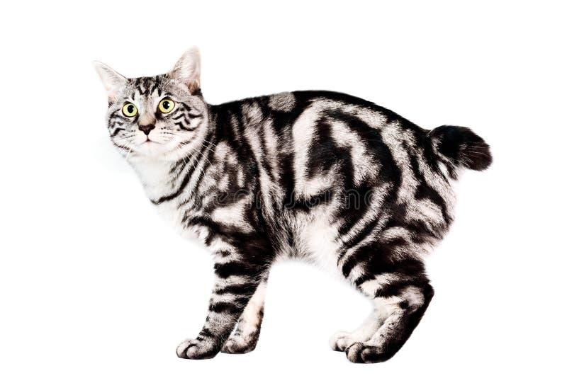 Download Purebred Kunashir Cat Royalty Free Stock Photo - Image: 8850745