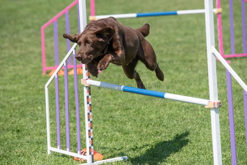Labrador retriever jumping over obstacle on agility competition. Purebred Labrador retriever dog jumping over obstacle on agility competition royalty free stock images