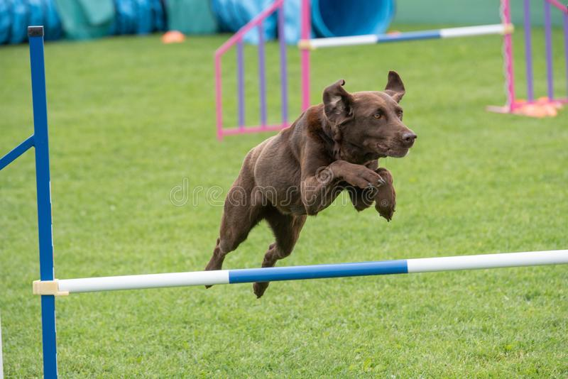 Labrador retriever jumping over obstacle on agility competition. Purebred Labrador retriever dog jumping over obstacle on agility competition stock photography