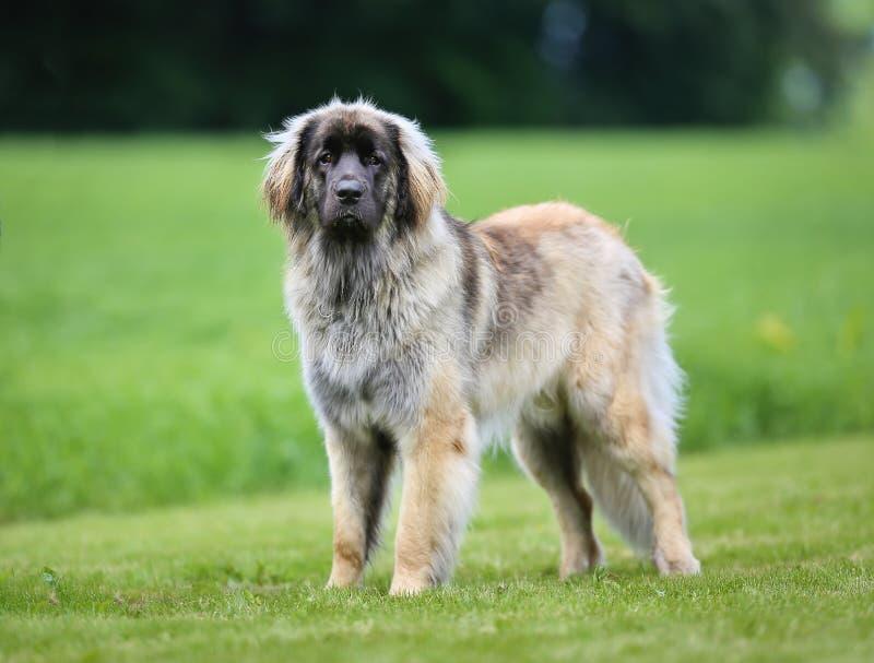 Purebred Leonberger dog stock image