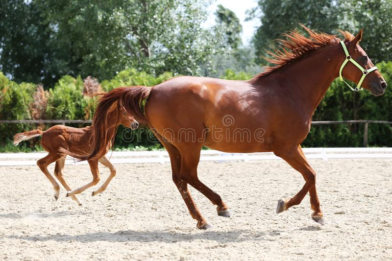 Purebred mare and her few weeks old filly galloping at riding center on the sandy field. Beautiful mare and foal running together on sandy dressage ground at stock photography