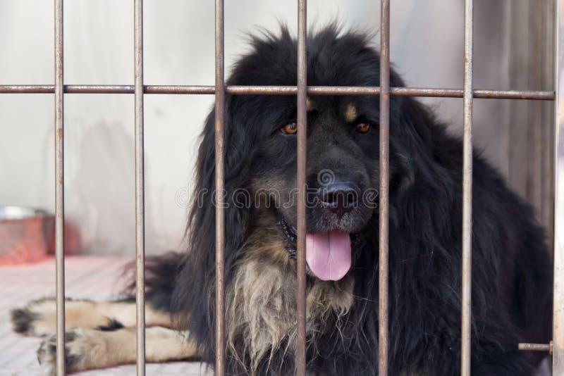Download Purebred mastiff in cage stock photo. Image of purebred - 27687196