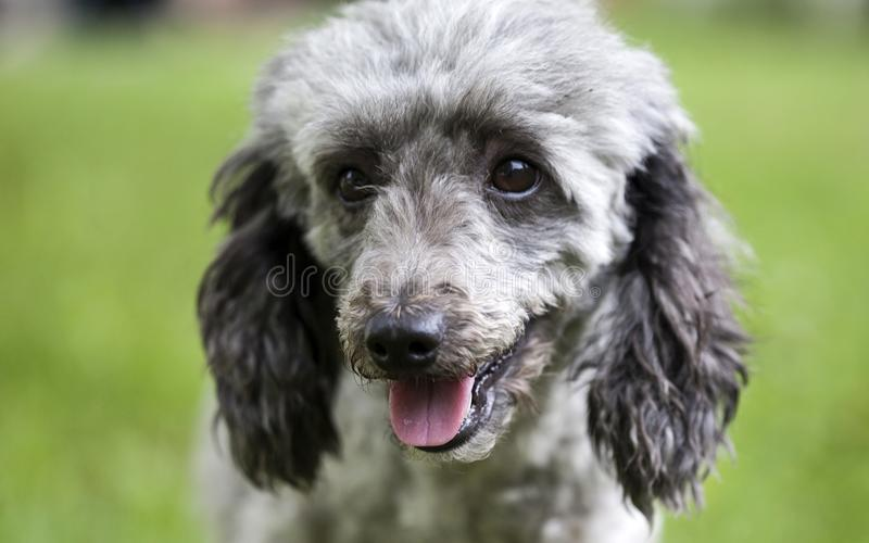 Poodle in the garden. Purebred poodle portrait outdoor in the garden stock images