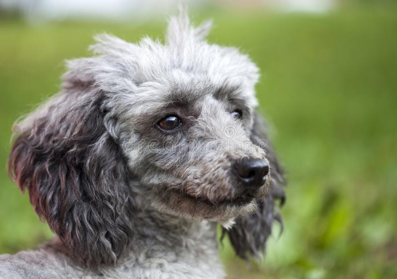 Poodle in the garden. Purebred poodle portrait outdoor in the garden royalty free stock photography