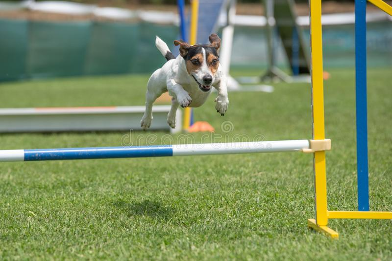 Purebred psi Jack Russel Terrier skacze nad przeszkodą na agilit obraz stock