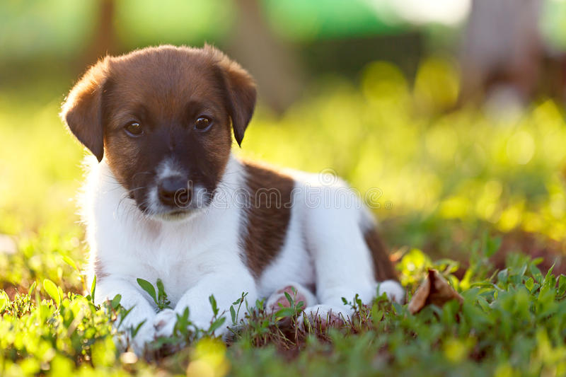 Purebred puppy smooth-haired fox terrier is resting on a walk in royalty free stock photos