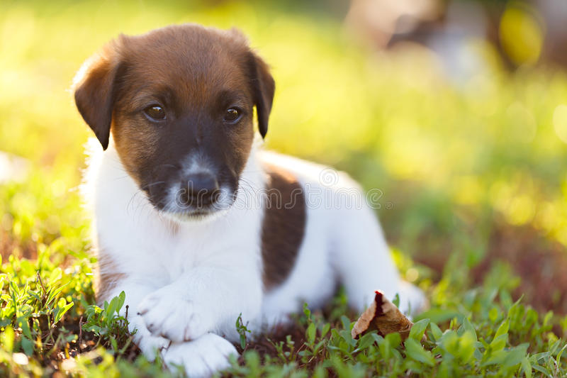 Purebred puppy smooth-haired fox terrier is resting on a walk in stock image