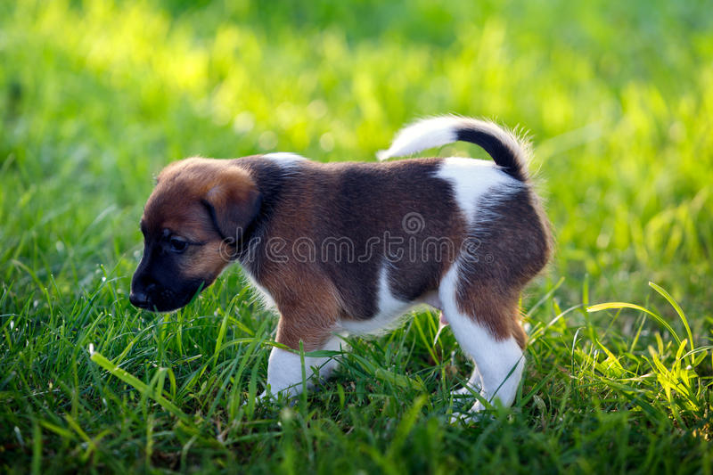 Purebred puppy smooth-haired fox terrier, walks in the park outdoors, on the green grass. Hunting dog. royalty free stock photography