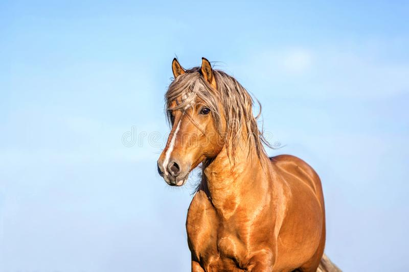 Horse running free on the pasture. royalty free stock photos