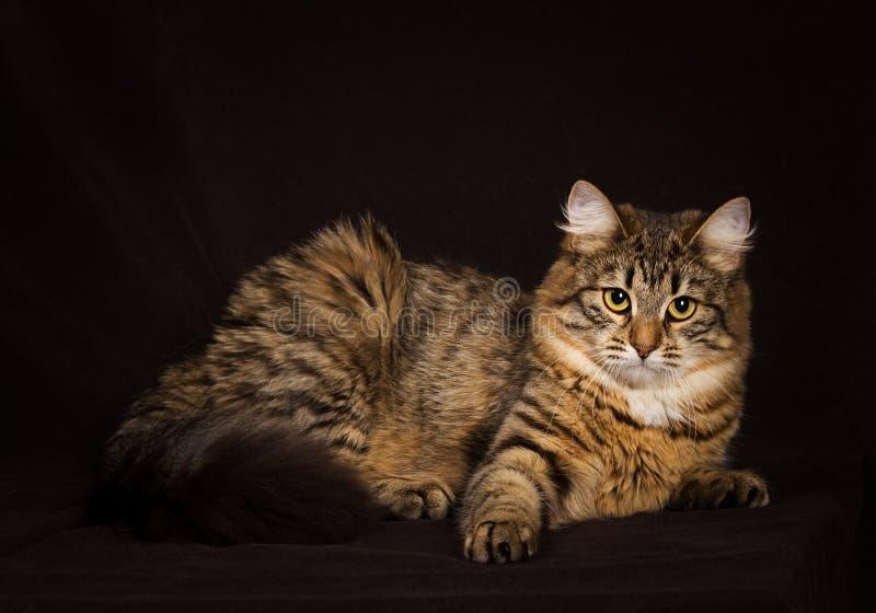 Purebred Siberian cat. On dark brown background royalty free stock photo