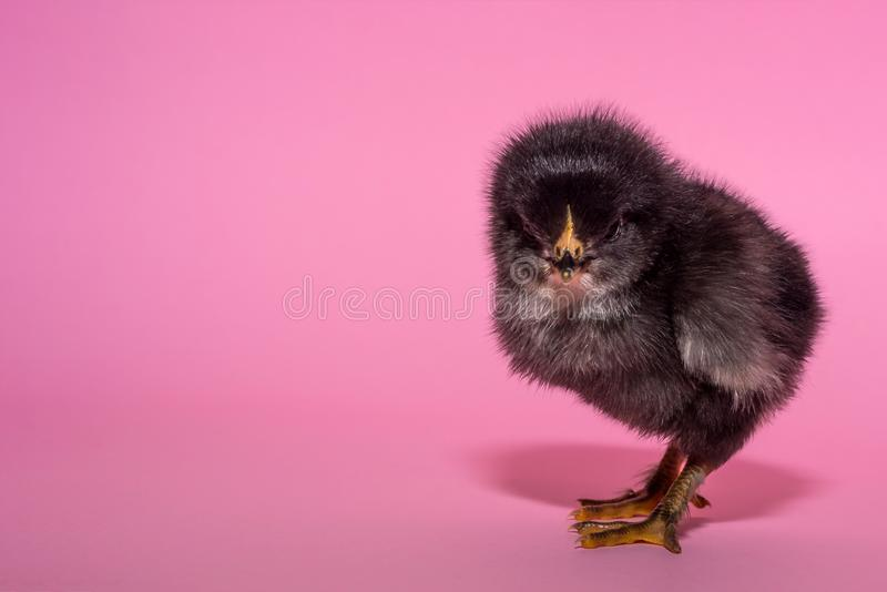 purebred, small, cute, fluffy, the chicken stands on a pink background. Free space. Concept stock image