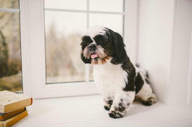 Great Fluffy Canine Adorable Dog - purebred-small-fluffy-dog-shih-tzu-sitting-window-white-room-90251764  Best Photo Reference_916690  .jpg