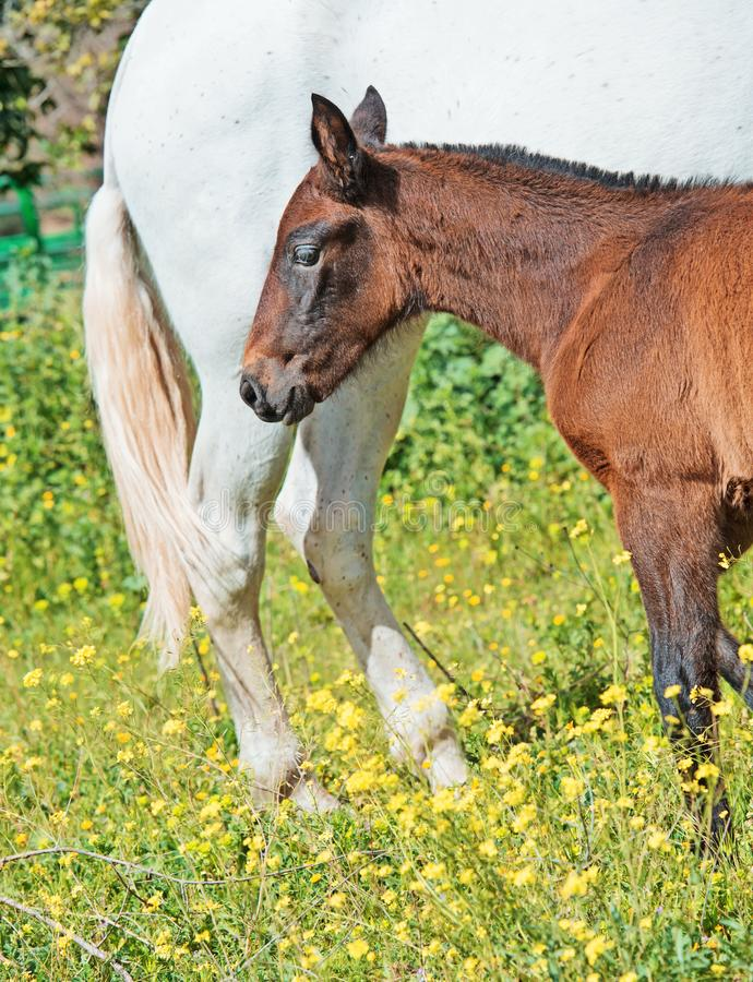 Purebred spanish foal with her mother in garden. Andalusia. Spain stock image