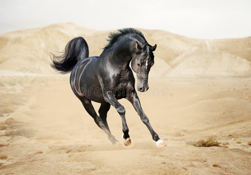 Purebred white arabian horse in desert stock images