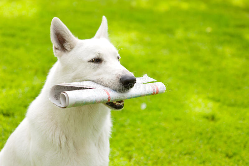 Purebred White Swiss Shepherd with newspaper on green grass royalty free stock photos