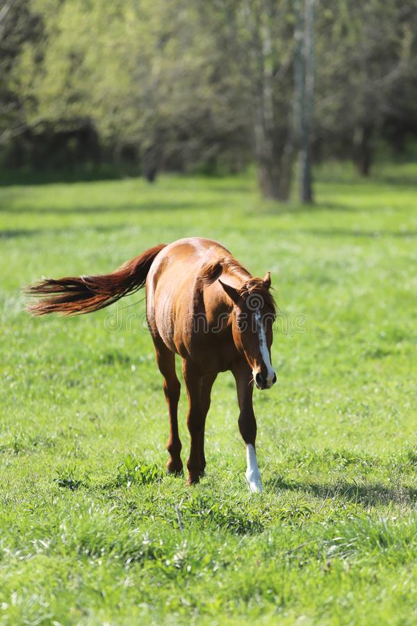 Purebred young sport horses graze in the pasture. Paddock horses living on rural ranch royalty free stock photography