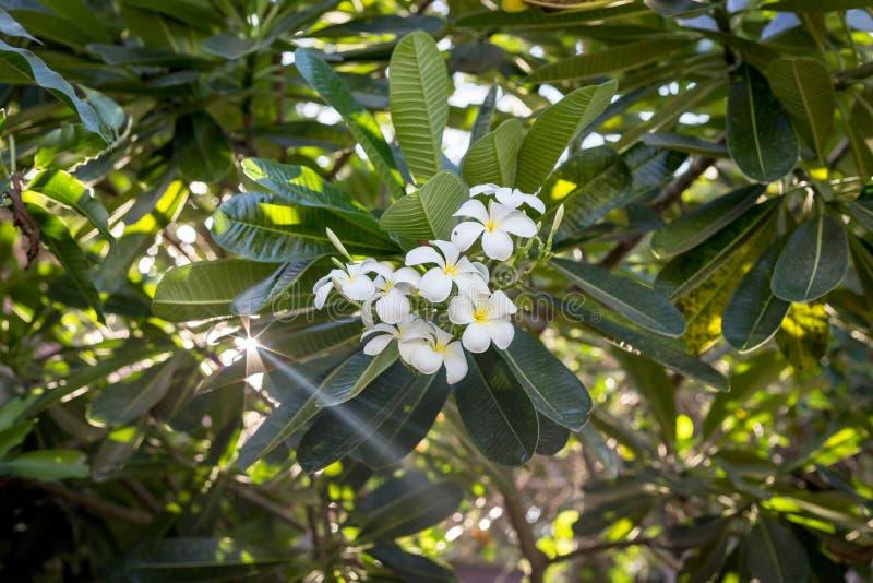 Pureté d'éclairage du Plumeria blanc photographie stock libre de droits