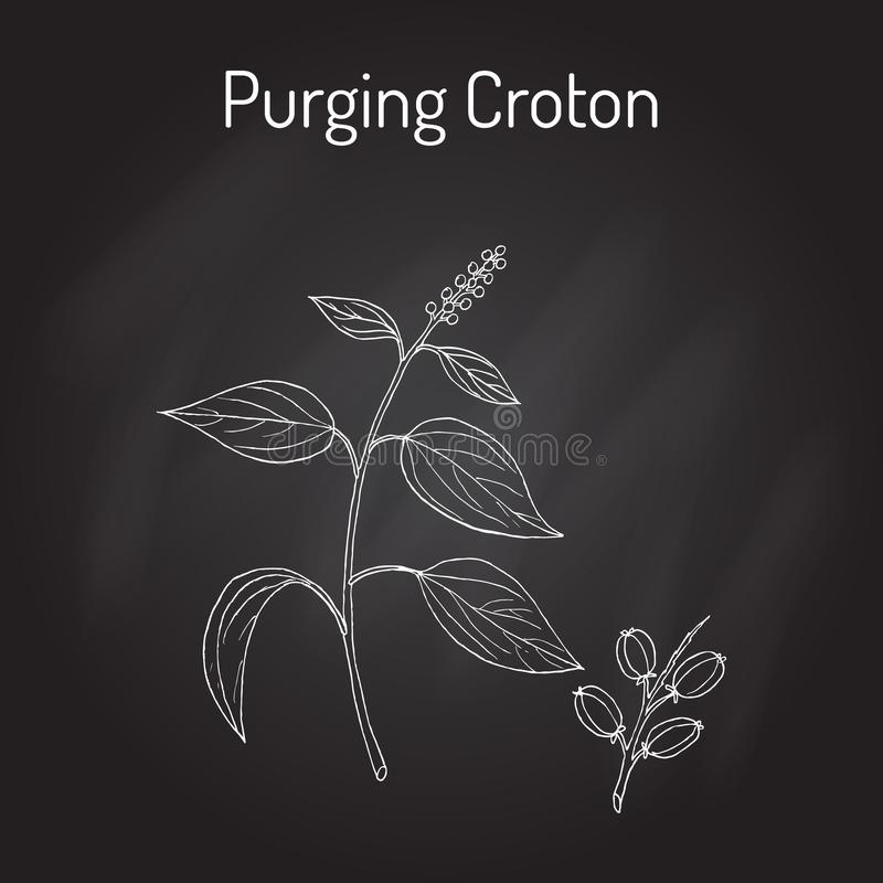 Purge du Croton, plante médicinale illustration libre de droits