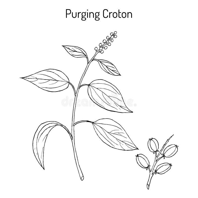 Purge du tiglium de Croton de Croton, plante médicinale illustration stock