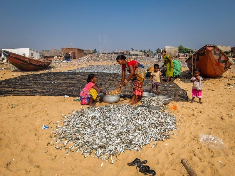 Indian women sorting fish on the beach in Puri. stock photo