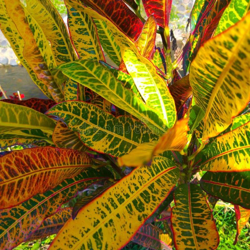 Puring är det indonesiska namnet för trädgårdcroton, är det populära trädgårdväxter som buskar formade bladform, och färg variera royaltyfri fotografi