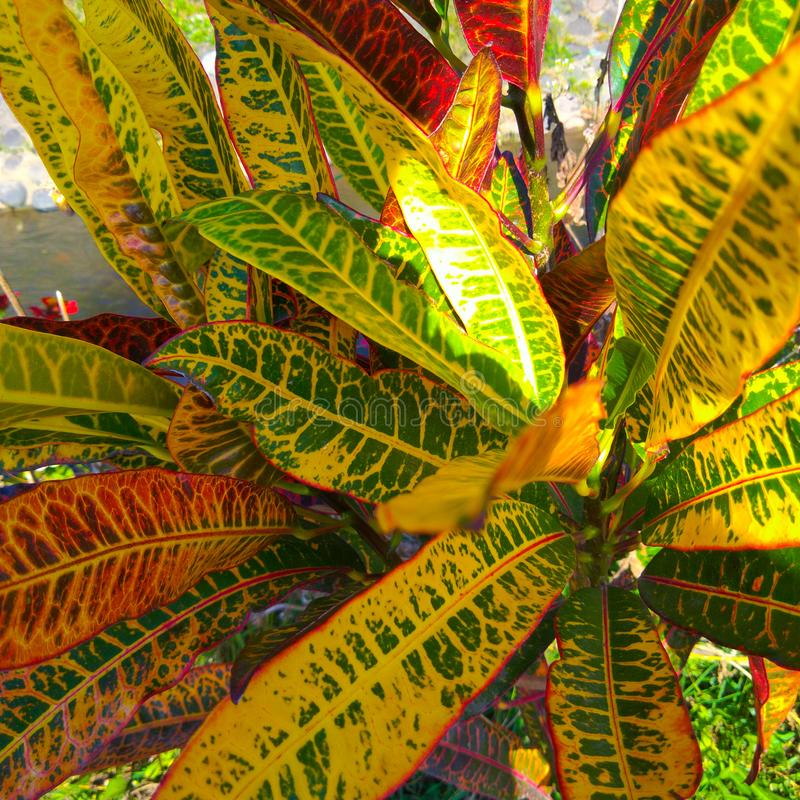 Puring jest Indonezyjskim imieniem dla ogrodowego croton, ja jest popularni krzaki kształtującym ogrodowych rośliien liścia kszta fotografia royalty free