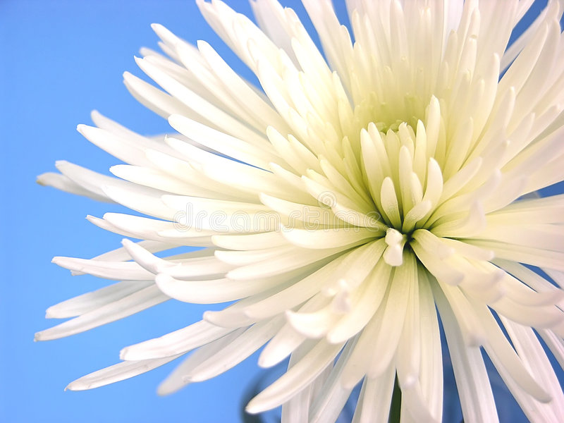 Purity. A pure white Shuriki Chrysanthemum flower called a Spider Mum over sky blue royalty free stock image