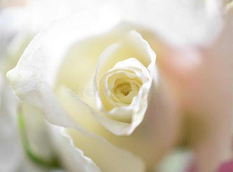Purity of the rose stock photos