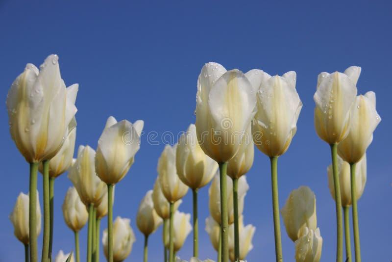 puro Descensos del roc?o de la ma?ana en los tulipanes blancos Corolla fotografía de archivo libre de regalías