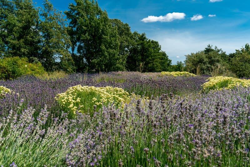 Purpel et lit de fleur blanche avec la lavande et l'herbe olive photos libres de droits