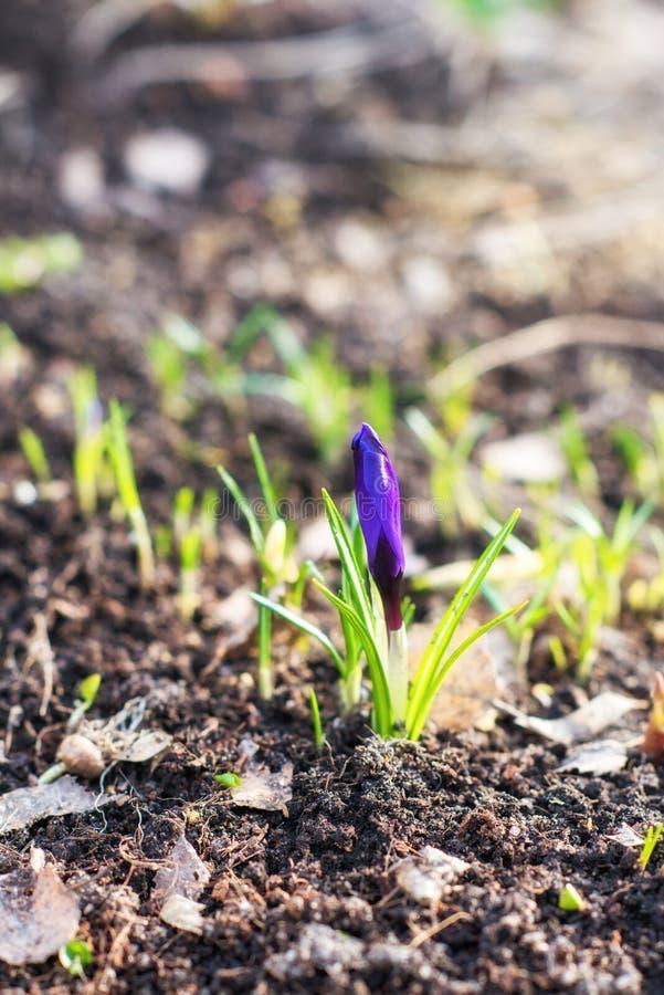 Purper crocuseclose-up De eerste de lentebloem groeit in het wild stock afbeelding
