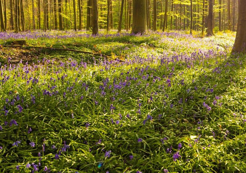 Purper hout in vroege ochtendzonsopgang, Hallerbos, België royalty-vrije stock foto
