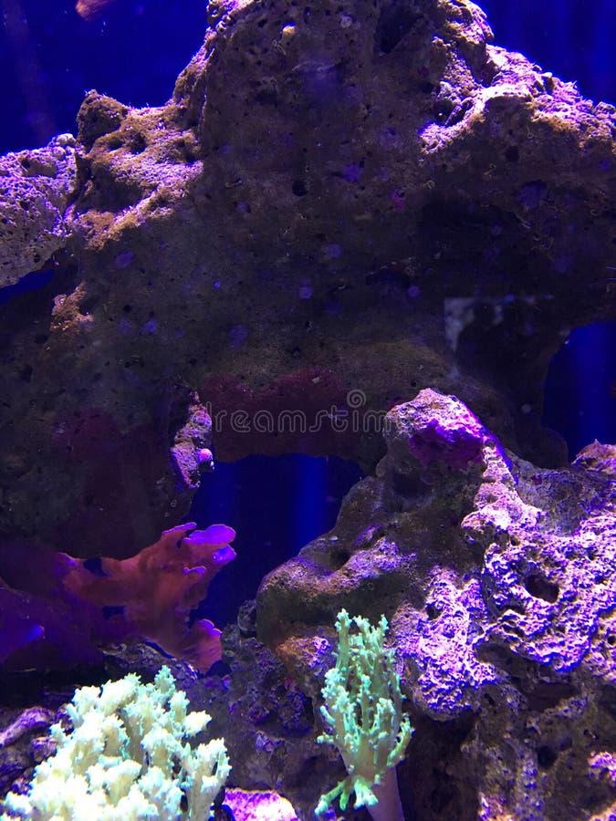 Purper koraalrif stock afbeelding