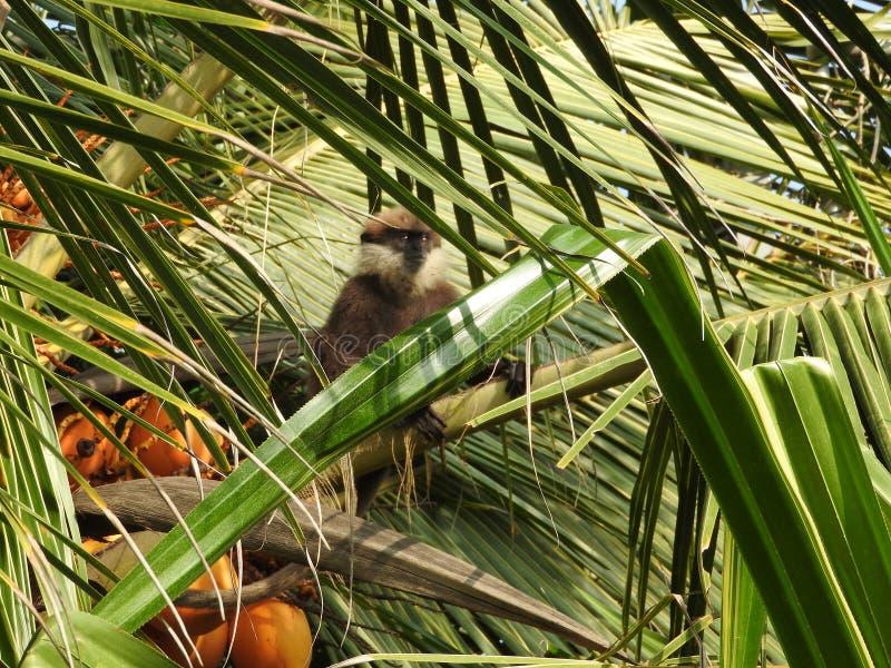 Purper-onder ogen gezien langurs, moter en baby, die op een kokosnotenpalm zitten in natuurlijke habitat in Sri Lanka stock afbeeldingen