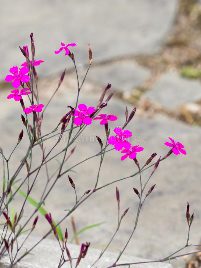 Purper-roze anjerwildernis royalty-vrije stock fotografie