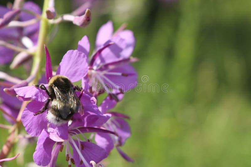 Purper-roze bloemen van wilg-thee wilgeroosjeclose-up De bloemen van de zomer stock foto's