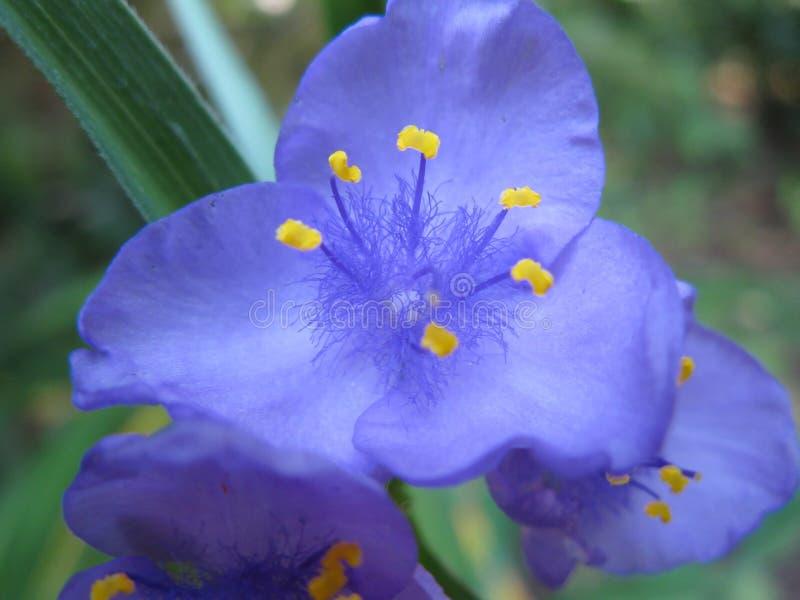 Purper spinwort stock afbeeldingen